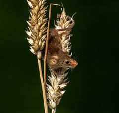 Harvest mouse (andymulhearn) Tags: fuji xc50230mm xpro2 british wildlife centre harvest mouse