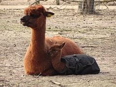 Alpaca - Mother and Child (Rasenche) Tags: landgoedhoenderdaell animal alpaca annapaulowna