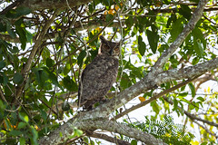 Great Horned Owl (Bubo virginianus) (Sergey Pisarevskiy) Tags: greathornedowl bubovirginianus bolivia southamerica birds birdwatching wildnature wildlife
