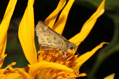 Hesperiidae sp (Skipper) - Entebbe, Uganda (Nick Dean1) Tags: hesperiidae skipper butterfly animalia arthropoda arthropod hexapoda insect insecta uganda entebbe