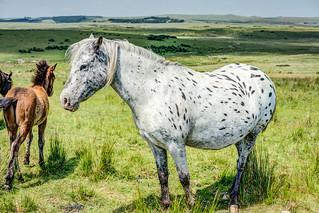 'Dot' The Spotted Pony - Dartmoor, Devon.