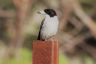 Butcher Bird!  Butcher Birds get their name from their habit of hanging captured prey on a hook or in a tree fork, or crevice