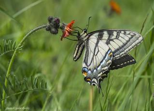 JSM_4191etswallowtail1jsm