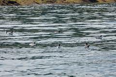 Puffin and seven guillemots, 2018 Jun 08 (Dunnock_D) Tags: uk unitedkingdom wales puffinisland sea puffin seven guillemot guillemots bird birds swimming