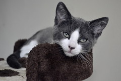 Frida (Ms. Stein) Tags: cat photography animal pet greycat kitty newhouse greeneyes eyes kot kociak