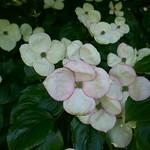 Au jardin, cornouiller du Japon