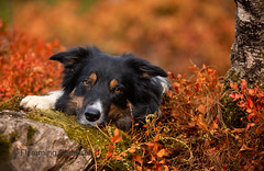 summer look (Flemming Andersen) Tags: stone pet nature dog bordercollie outdoor yatzy animal hund roc la tour roclatour thilay grandest france fr