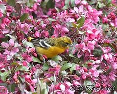 Baltimore Oriole (Ed McAskill) Tags: baltimore oriole edmcaskill birds
