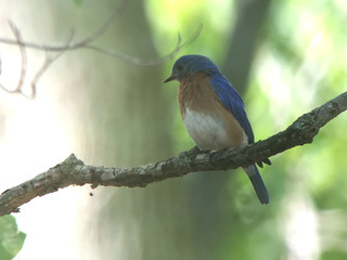 20180711 Eastern Bluebird