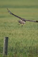 Juvenile Red-tailed Hawk - Buteo jamaicensis (jessica.rohrbacher) Tags: redtailed hawk bird avian buteo jamaicensis accipitridae flight flying calgary alberta canada prairie