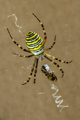 Wasp Spider (Geoffrey Tibbenham) Tags: waspspider spider wasp insect outdoor nature countryside canon 100mm f28 is macro wildlife
