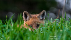 Peekaboo! (Jamie Lenh Photography) Tags: nature wildlife redfox nikond500 tamron150600 animal jamielenh