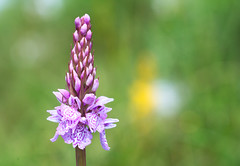 Langdale Orchid (paulypaulpaul1) Tags: langdale cumbria vivitar 90mm komine sony nex6 orchid lakedistrict bleatarn 11 explored inexplore macro
