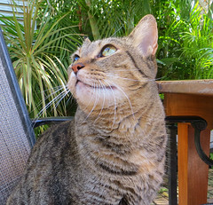 Key West (Florida) Trip 2017 7970Ri (edgarandron - Busy!) Tags: coco cat cats kitty kitties tabby tabbies cute feline florida keys floridakeys keywest authorsofkeywest