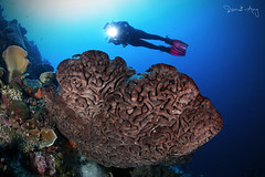 S A L V A D O R - D A L I (Randi Ang) Tags: salvadordalisponge salvador dali sponge coral parigi moutong parigimoutong central sulawesi tengah sulteng indonesia underwater scuba diving dive photography wide angle randi ang canon eos 6d fisheye 15mm randiang wideangle