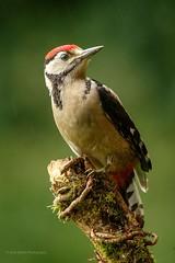 Great Spotted Woodpecker (juv) (ABPhotosUK) Tags: greatspottedwoodpecker dendrocoposmajor wildlife birds wrynecksandwoodpeckers juvenile devon dartmoor garden perched