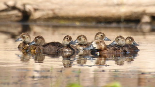 Scaup family