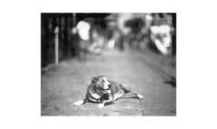 (WOGO*) Tags: graflex super d 178mm polaroid 665 getto instantfilm expired film bokeh pet dog dtes hastings expiredfilm analog