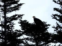 🇨🇦 In The Wild (Céanndhubahn) Tags: newfoundland grosmorne eaglecanada canada baldeagle