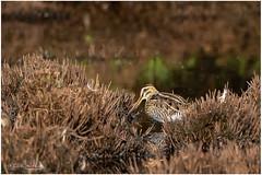 Snip 010818(1***) (Gertj123) Tags: bird water wierdenseveld wild netherlands nature heathland canon summer