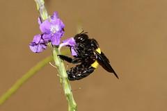 Xylocopa caffra ♀ (Carpenter Bee) - Mahe, seychelles (Nick Dean1) Tags: xylocopacaffra carpenterbee animalia arthropoda arthropod hexapoda insect insecta hymenoptera seychelles mahe indianocean