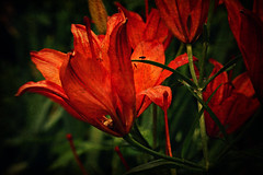 Lily (Dave Linscheid) Tags: flower texture textured lensbaby myyard orange bloom summer spring butterfield watonwancounty mn minnesota usa picmonkey