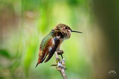 Anna's Hummingbird Female (tristanrayner.com) Tags: hummingbirds squamish annas rare endangered plumage birds wildlife backyard