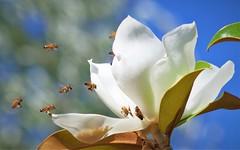 Save the Bee - Save the World (Angelo Petrozza) Tags: bee ape flower fiore magnolia insect imenoptera imenotteri 55300f458 impollination impollinazione save world mondo salvare bokeh an