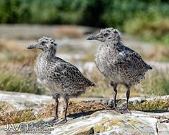 Lesser Black-backed gull chicks-Larus fuscus-8283 (George Vittman) Tags: bird chick gull herringgull ocean sea uk nikonpassion wildlifephotography jav61photography jav61 ngc fantasticnature