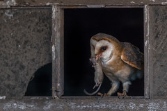 R18_2566 (ronald groenendijk) Tags: cronaldgroenendijk 2018 rgflickrrg tytoalba animal barnowl bird birds copyrightronaldgroenendijk europe holland kerkuil nature natuur natuurfotografie netherlands outdoor owl owls ronaldgroenendijk uil uilen vogel vogels wildlife