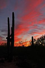Cactus and Sunset (craigsanders429) Tags: arizona cactus saguarocactus sunsetphotography sunsets sunsetcolors cloudsandsky clouds cloudsandmountains tucsonarizona red pink desert sonorandesert