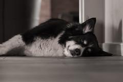 Keeping it cool (thethoughtbadger) Tags: bernesecross cutedog bigdog pointyears snoozingdog blackandwhitephotography petphotography