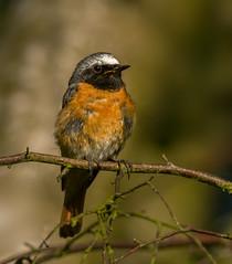 Redstart (keith27a) Tags: birds fauna naturesubjects redstart