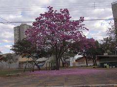 DSC00794 Ipê-Rosa (Tabebuia Impetiginosa) (familiapratta) Tags: sony dschx100v hx100v iso100 natureza flor flores nature flower flowers