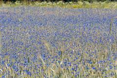 Kornblumen - Cornflowers (Peter Goll thx for +7.000.000 views) Tags: erlangen germany dechsendorf kornblume conrflower landscape landschaft d750 nikon nikkor