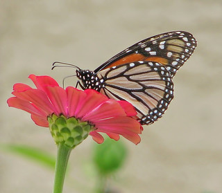 Monarch on red zinnia