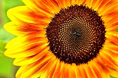 Sunflower Symmetry (deanrr) Tags: sunflower summer flower nature outdoor alabama morgancountyalabama symmetry linesymmetry bold orange yellow seeds 2018 macro patterns bright goldenratio fibonaccisequence
