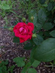 A rose in my mom's garden (Teresa Trimm) Tags: red rose garden growing outside plant leaves green greenery