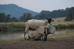 feeding time (Srossi23) Tags: lamb sheep farm animal feeding
