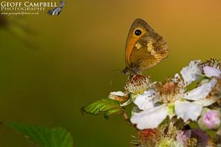 Gatekeeper (Pyronia tithonus)