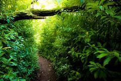 The Pathway - Aiea Loop Trail - Image 564  Aiea, Oahu, Hawaii (Dan Davila) Tags: hiking hike trail aiea loop honolulu oahu hawaii landscape soil trees tree plants forest plant flora green sun light tropical floral tropic garden wood woods