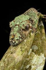 Mossy leaf-tailed gecko (Uroplatus sikorae) - DSC_7696 (nickybay) Tags: macro africa madagascar andasibe voimma cctv fisheye wideangle mossy leaftailed gecko gekkonidae uroplatus sikorae