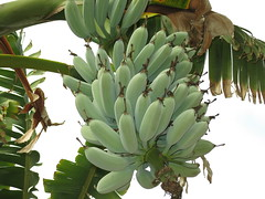 Musa Blue Java aka Ice Cream-the real deal! (meizzwang) Tags: musa blue java ice cream real deal bananas fruiting fruit outdoors northern california cultivation rare