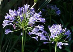Agapanthus in a Sydney garden -41 gamma (spelio) Tags: nsw sydney garden flower l blue