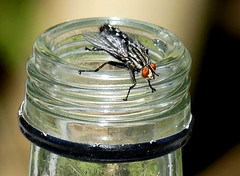 Graue Fleischfliege*common flesh fly [Sarcophaga carnaria] (BrigitteE1) Tags: fliege grauefleischfliege commonfleshfly schwarzweis schachbrett flasche flaschenhals likörflasche entsorgt indernaturentsorgt specanimal
