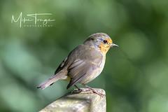 Robin,  (Erithacus, rubecula). (miketonge) Tags: robin erithacusrubecula leightonmoss bird lancashire