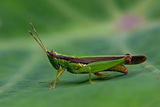 Oxya japonica - the Japanese Rice Grasshopper