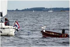 Hitch-Hiker II (LeonardoDaQuirm) Tags: grevelingen sailing seagull gull möwe seemöwe segeln nederland delta