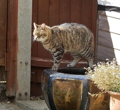 Another garden guest (Molly Moult) Tags: cat tabby stripes garden bowl pot