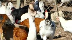 P2090553 poulailler 28 (oie) Ecancourt (jeanchristophelenglet) Tags: écancourtfrancefermedécancourt poulailler chickencoop galinheiro oie goose ganso
